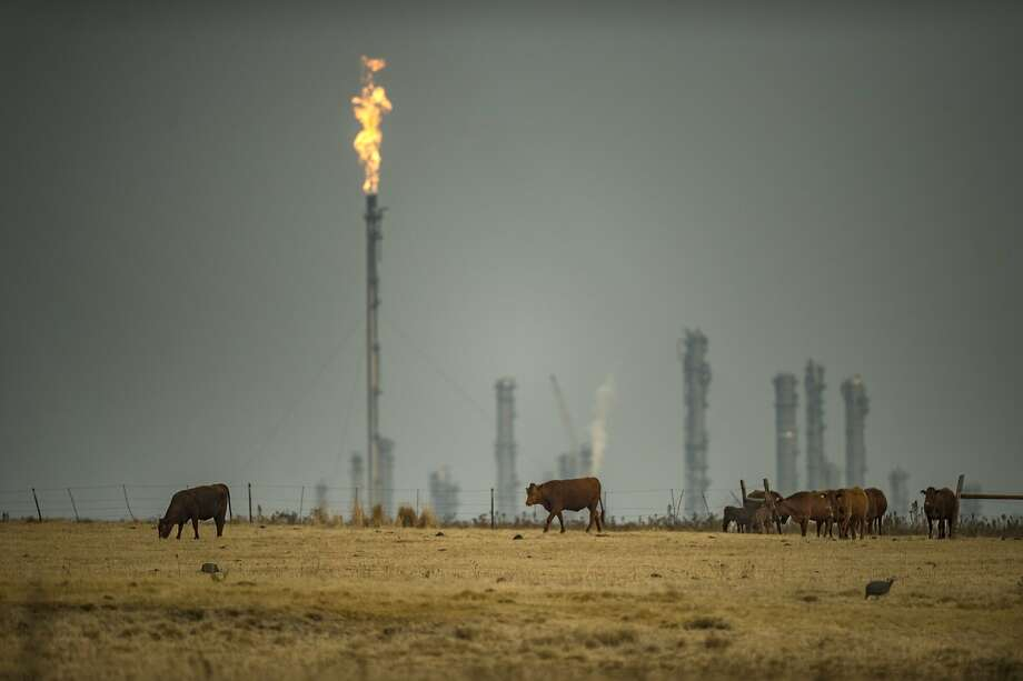 A picture taken on August 26, 2015 shows cattle grazing near the synthetic fuel plant in Secunda, South Africa, one of the largest coal liquefaction plants in the world producing petroleum-like synthetic crude oil from coal. Photo: Mujahid Safodien, AFP / Getty Images