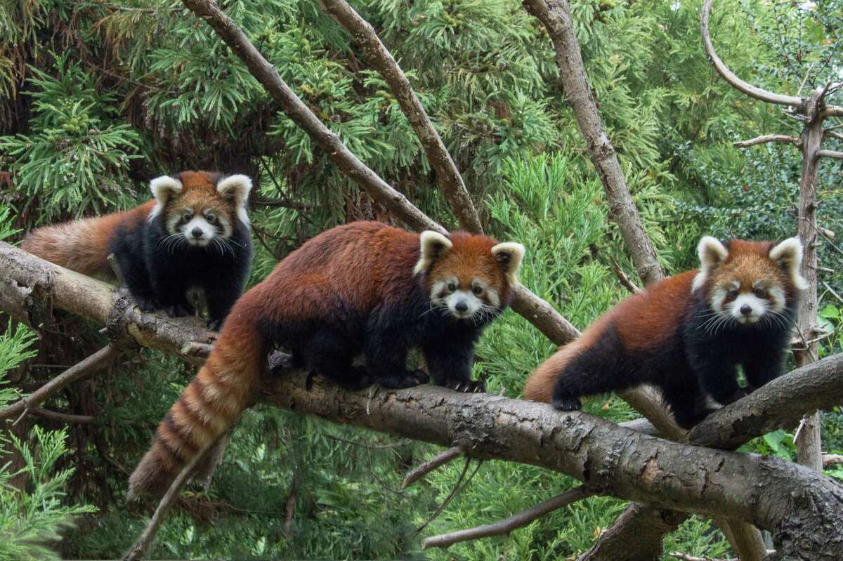 Ming Yue, a red panda that has been part of a popular exhibit at the Utica Zoo, died unexpectedly earlier this week. The panda was born eight years ago at the Prospect Park Zoo in New York City and brought to Utica the following year. This Nov. 2, 2015 photograph provided by the Wildlife Conservation Society shows a red panda flanked by two baby red pandas at the Prospect Park Zoo, where they have made their debut. (Julie Larsen Maher/Wildlife Conservation Society via AP)