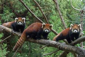 Red pandas make their debut - Photo