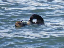 A rare verified sighting of a northern fur seal in San Francisco Bay was made last Saturday on a nature trip with the Golden Gate Audubon Society aboard Dolphin Charters out of Berkeley Marina