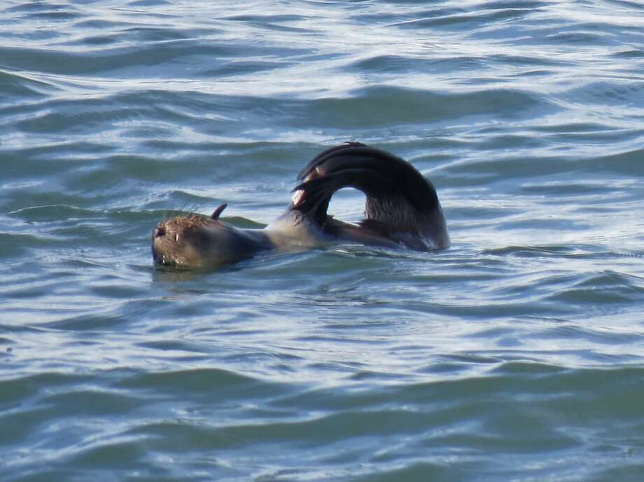 A rare verified sighting of a northern fur seal in San Francisco Bay was made last Saturday on a nature trip with the Golden Gate Audubon Society aboard Dolphin Charters out of Berkeley. Photo: David Assmann, David Assman/Special To The Chro