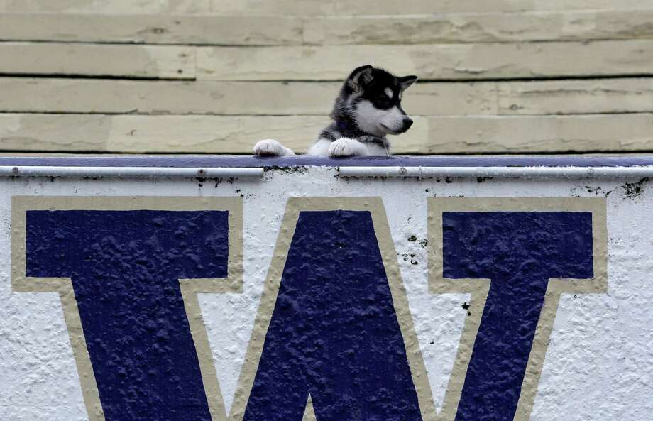 """Dubs,"" the new mascot for the Washington Huskies, is posed while being introduced to the media Tuesday, Feb. 10, 2009, in Seattle. Like the downtrodden UW football team he will most symbolize, Dubs has plenty of room to grow. And the 3-month-old, like most of his predecessors, isn't actually a husky--he's an Alaskan malamute.  (AP Photo/Elaine Thompson) Photo: Elaine Thompson, Associated Press / AP2009"