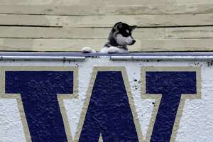 """Dubs,"" the new mascot for the Washington Huskies, is posed while being introduced to the media Tuesday, Feb. 10, 2009, in Seattle. Like the downtrodden UW football team he will most symbolize, Dubs has plenty of room to grow. And the 3-month-old, like most of his predecessors, isn't actually a husky--he's an Alaskan malamute.  (AP Photo/Elaine Thompson)"