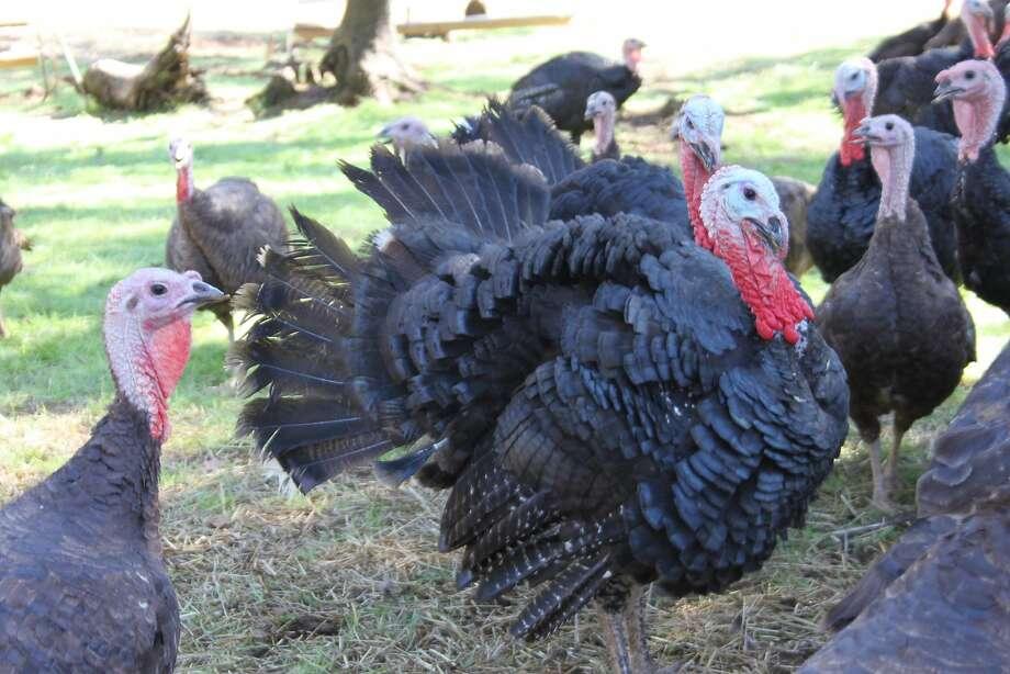 The turkey ranch in Sonora is where Diestel keeps its pasture-raised birds. Photo: Jeanne Cooper