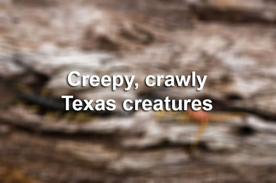 Texas is home to a number of nightmare-inducing insects.