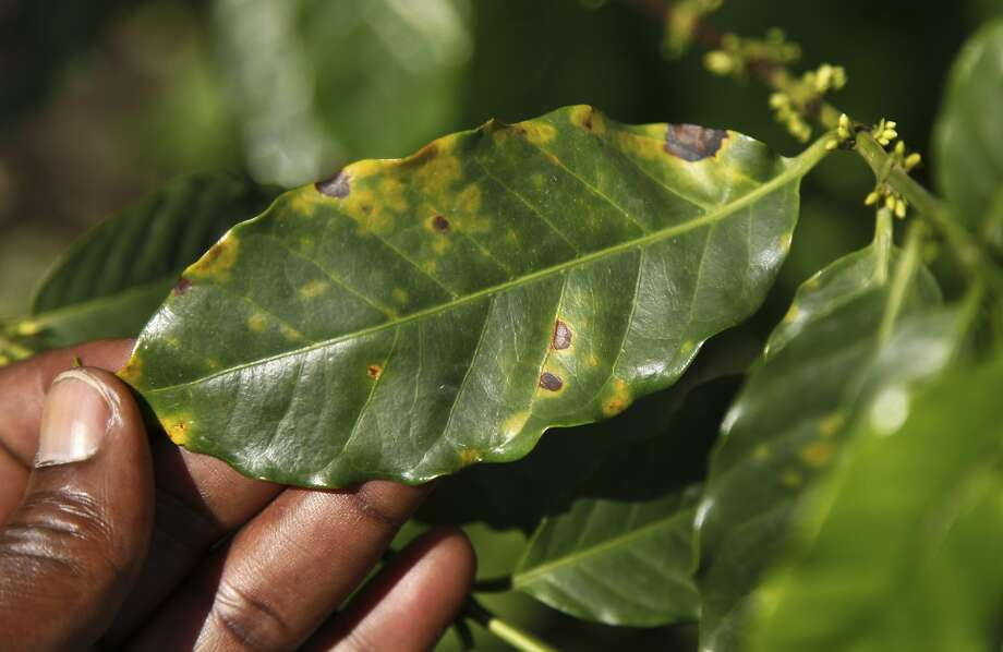 Ugandan coffee experts say fungal disease has become more prevalent amid rising temperatures. Photo: Stephen Wandera, Associated Press