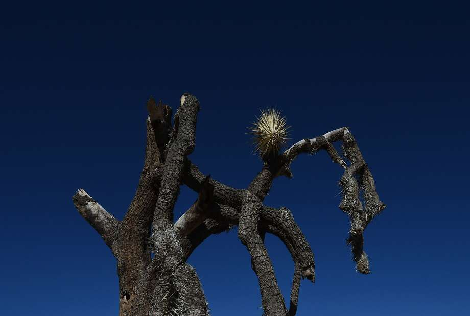 A dying Joshua Tree as the drought continues to affect the state in Joshua Tree National Park, California on November 22, 2015.  California's epic drought is having a devastating effect on the iconic trees which can normally live to 200 years of age and are native to only the Mojave Desert region of California. Ecologists say the trees have not been able to reproduce in decades as new seedlings shrivel up and die before putting down the deep roots needed to survive the desert conditions.           AFP PHOTO/ MARK RALSTON / AFP / MARK RALSTON        (Photo credit should read MARK RALSTON/AFP/Getty Images) Photo: Mark Ralston, AFP/Getty Images