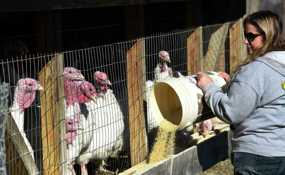 Turkeys are readied for Thanksgiving tables in the area by Kris Brock at the Unc Brock Farm Friday Nov. 20, 2015 in Schaghticoke, N.Y.     (Skip Dickstein/Times Union) Photo: SKIP DICKSTEIN / 10034345A
