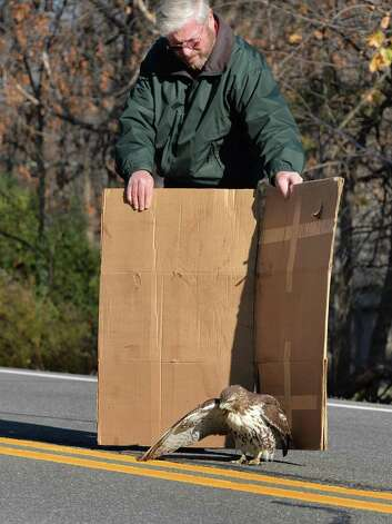 Passing motorist Vince Mattson of Latham comes to the aid of a wounded Red-tailed Hawk on Loudon Road Wednesday Nov. 25, 2015 in Colonie, NY.  (John Carl D'Annibale / Times Union) Photo: John Carl D'Annibale