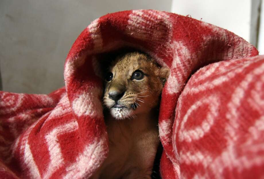 In this photo taken Tuesday, Nov. 24, 2015, a lion cub is  bundled up in a blanket to get warm during a power outage at the Taigan Safari Park, in Belogorsk, about 50 km (31 miles) east of Simferopol, Crimea. The weekend bombing of electricity pylons by unknown attackers wiped out power supplies to Crimea from Ukraine and the peninsula was able to fill only about 30 percent of its electricity needs. Photo: Alexander Polegenko, Associated Press