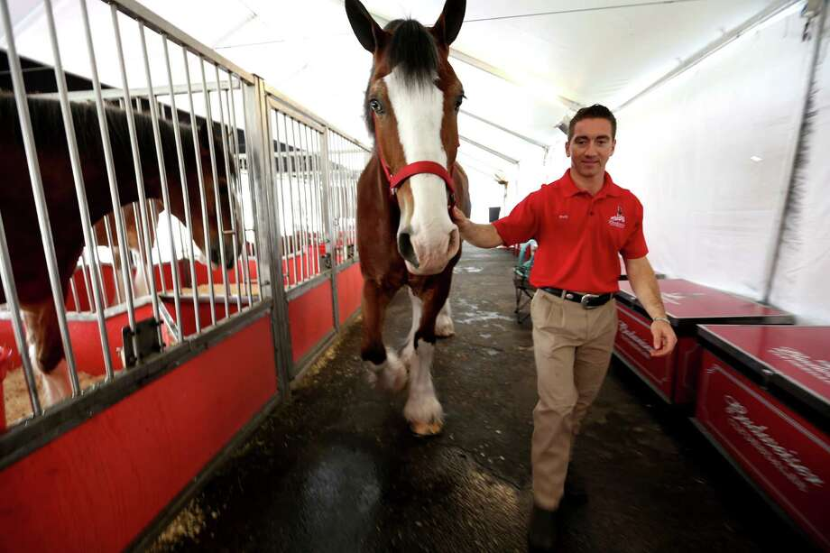 Levi, a 16-year-old gelding is walked back to his cage by handler Rudy Helmuth at the Anheuser-Busch Houston Brewery as they were on view before being in this year's Thanksgiving Day parade on Wednesday, Nov. 25, 2015, in Houston. Weather permitting, the horses will be available for public viewing Saturday and Sunday at the brewery. Photo: Elizabeth Conley, Houston Chronicle / © 2015 Houston Chronicle