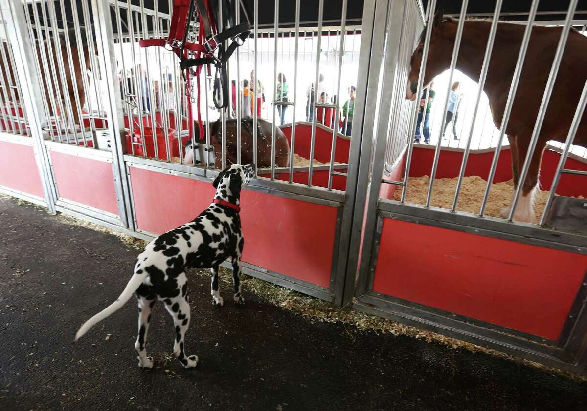 Clyde, a Dalmatian that rides on the Budweiser wagon, peaks in at the Budweiser Clydesdales at the Anheuser-Busch Houston Brewery as they were on view before being in this year's Thanksgiving Day parade on Wednesday, Nov. 25, 2015, in Houston.