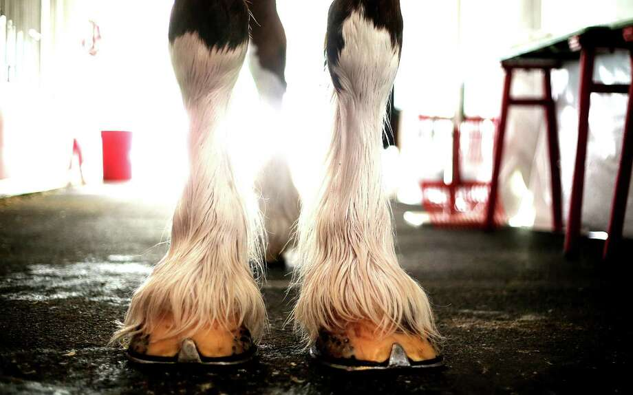 The white on the base of the feet of the Clydesdale is referred to as the feathers. Photos of the  Budweiser Clydesdales at the Anheuser-Busch Houston Brewery as they were on view before being in this year's Thanksgiving Day parade on Wednesday, Nov. 25, 2015, in Houston. Weather permitting, the horses will be available for public viewing Saturday and Sunday at the brewery. Photo: Elizabeth Conley, Houston Chronicle / © 2015 Houston Chronicle