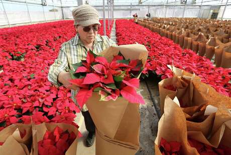 Brookwood greenhouse staff employee Micaela Villalobos wraps poinsettias in the Brookwood greenhouse. While the residents and citizens plant the holiday trees, Villalobos and others work on wrapping them for retail.
