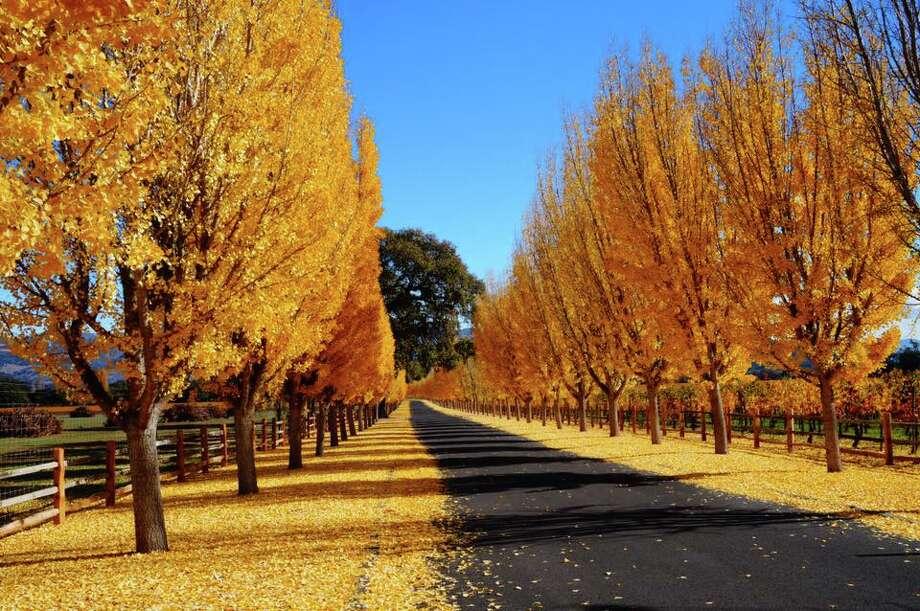 Fall colors in Napa on Wednesday. (Courtesy Ilanit Manor) Photo: Courtesy Photo