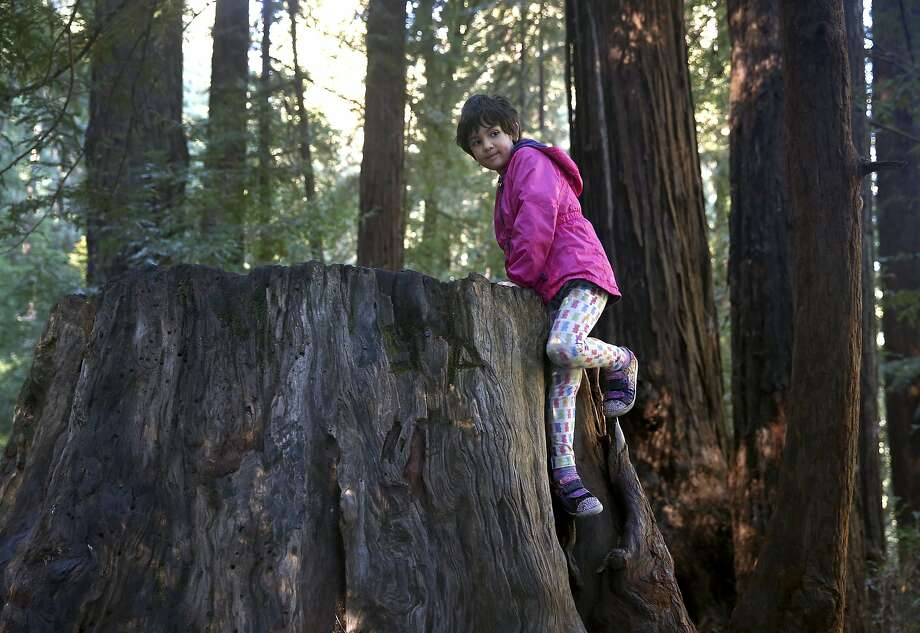 Six-year-old Judah Gottlieb climbs an old redwood stump at Samuel P. Taylor State Park in Lagunitas, Calif. on Friday, Nov. 27, 2015. Judah's family attempted to take advantage of free admission to the park, but all of the free passes were already gone. The Save the Redwoods League provided a limited number of free passes to selected state parks as an alternative to shopping on Black Friday. Photo: Paul Chinn, The Chronicle