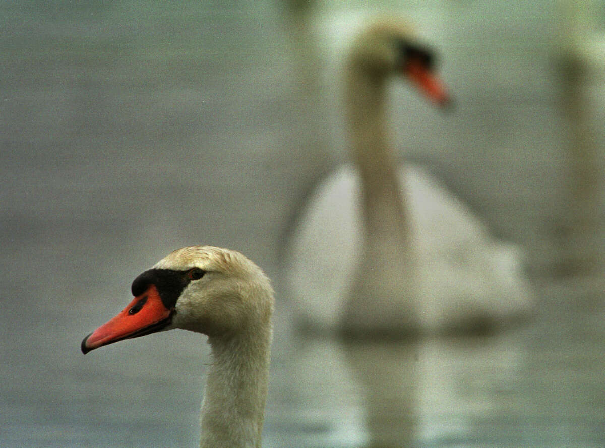 TIMES UNION PHOTO BY -- Paul Buckowski -- Mute Swans make their way around the waters of the Hudson River near Athens, NY, on Thursday, April 20, 2000.