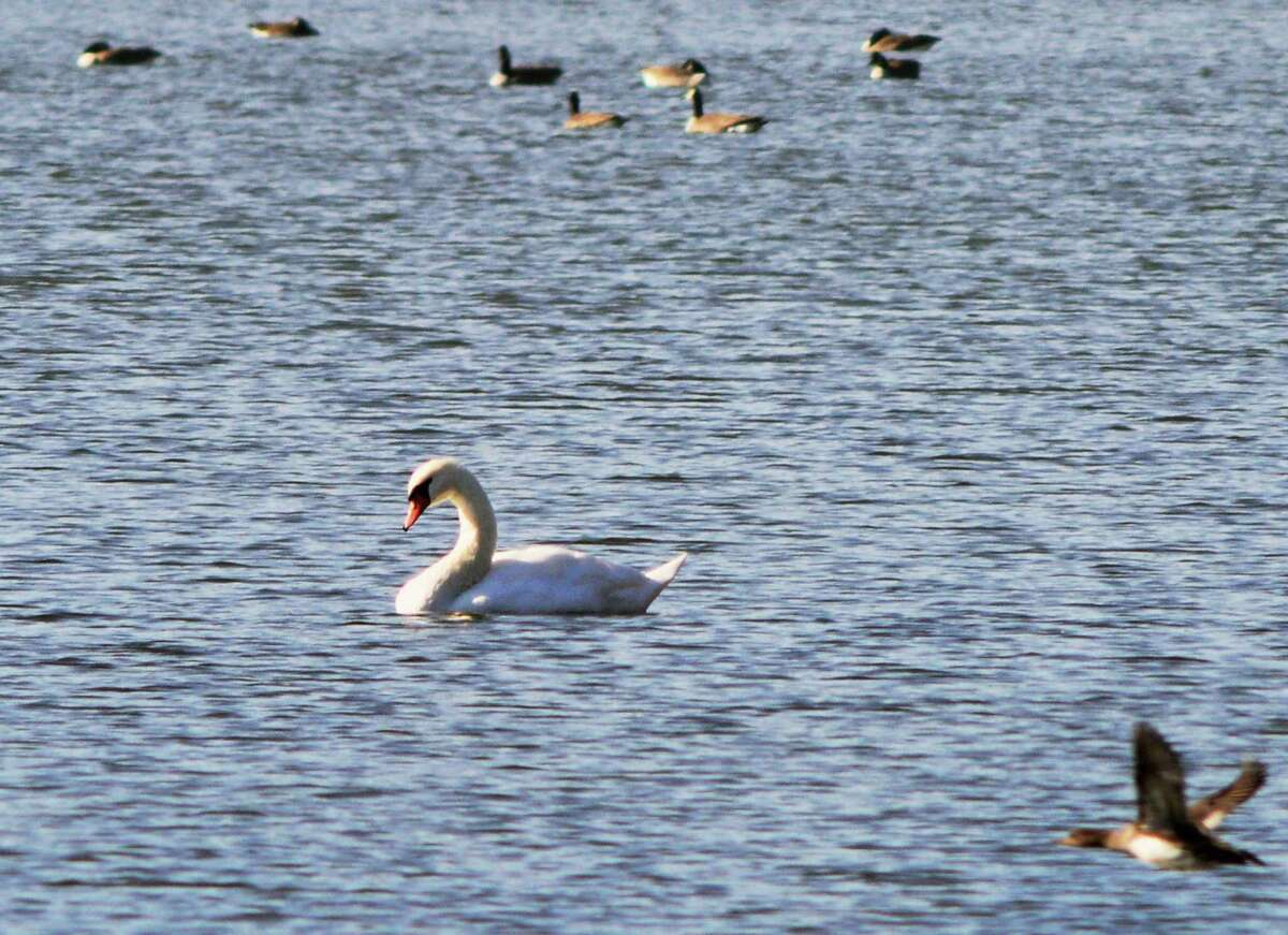 A Mute Swan, center, shares Collins Lake with other waterfowl Wednesday Nov. 20, 2103, in Scotia, NY. (John Carl D'Annibale / Times Union)