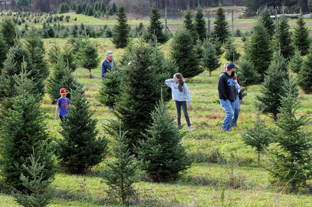 Families search for the perfect holiday tree to cut at McDonough's Farm on Friday Nov. 27, 2015 in East Greenbush N.Y. (Michael P. Farrell/Times Union) Photo: Michael P. Farrell / 10034339A