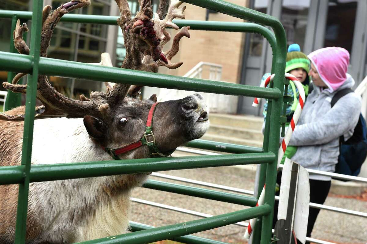 Buddy, a 5-year-old reindeer, smells something on the wind during Home for the Holidays free admission weekend on Saturday, Nov. 28, 2015, at Albany Institute of History and Art in Albany, N.Y. Buddy was part of the activities for families, which included making holiday cards and a visit with Santa. The event continues, sans reindeer, on Sunday from noon to 4:30 p.m. (Cindy Schultz / Times Union)