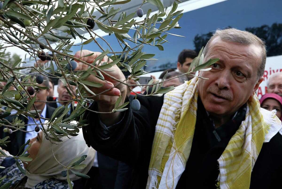 Turkey's President Recep Tayyip Erdogan collects olives in Burhaniye, Turkey, Saturday, Nov. 28, 2015. Erdogan on Saturday voiced regret over Turkey's downing of a Russian warplane, saying his country was