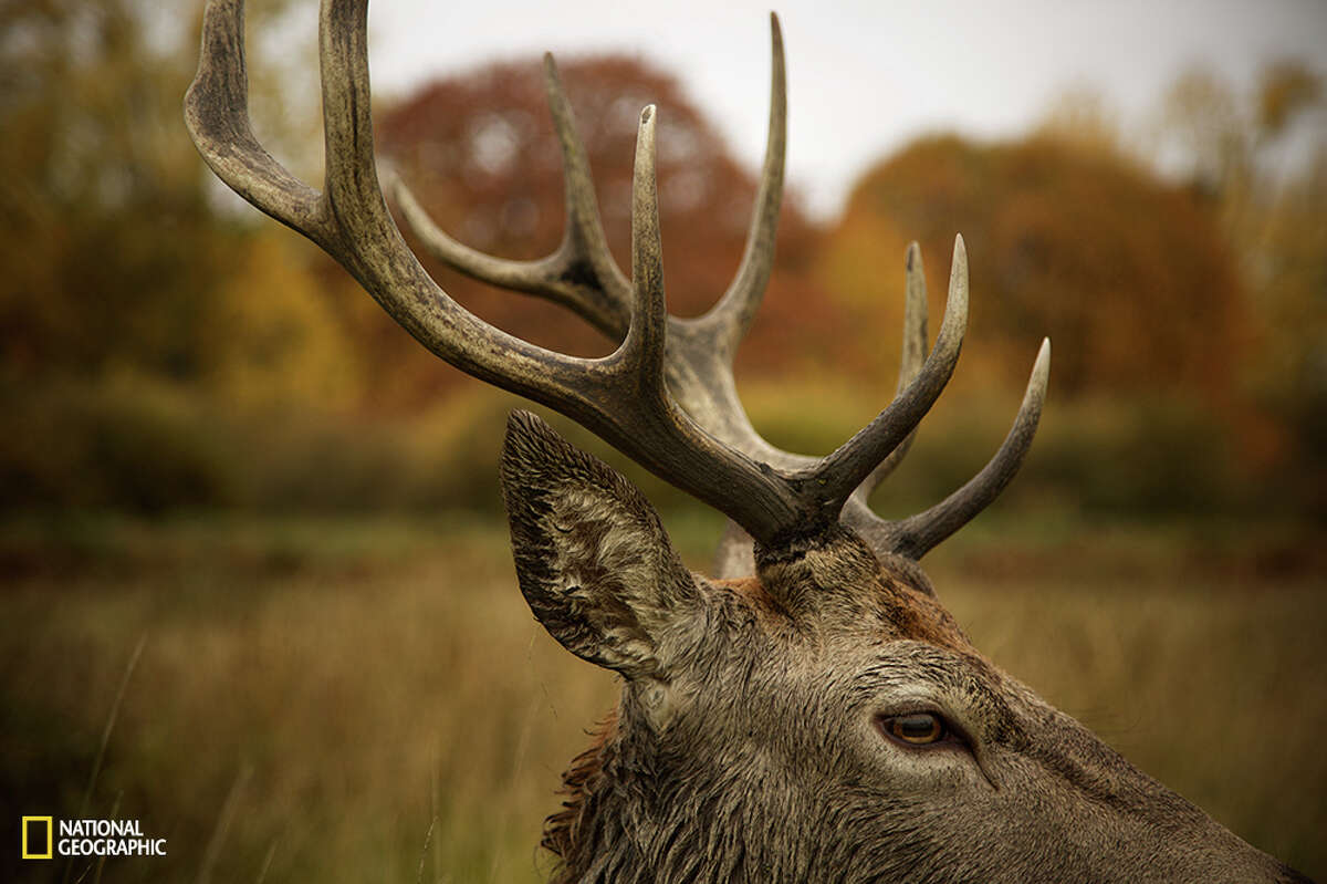 Red Deer in Fall, England