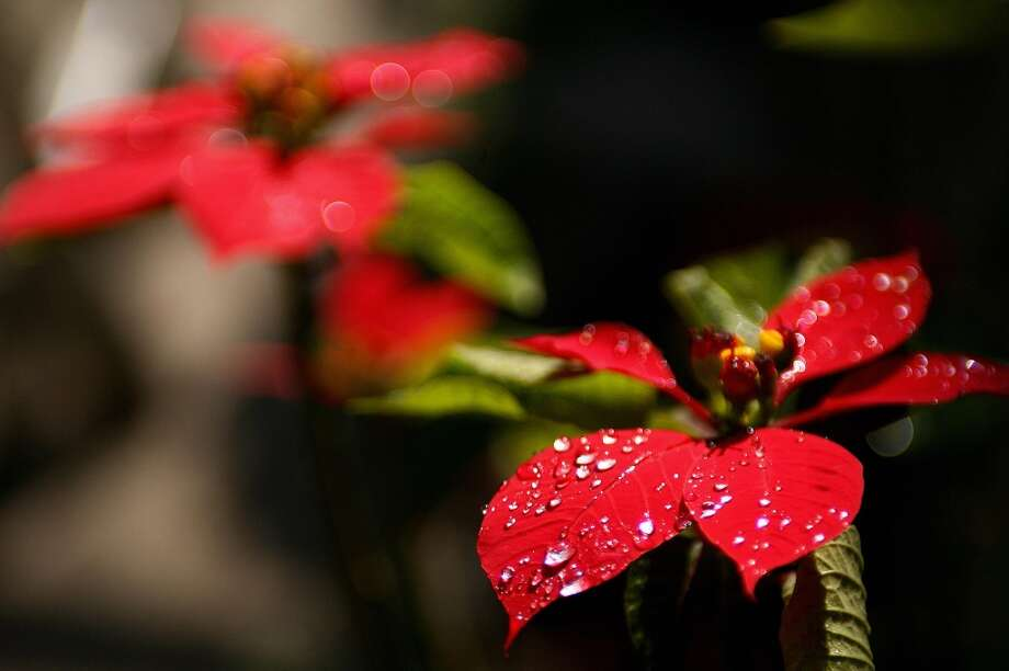 The Poinsettia is a plant of Mexican origin also known as Nochebuena or Christmas Star. The plant acquired its English name from Joel Roberts Poinsett, the first Ambassador from the USA to Mexico in 1825. Photo: ALFREDO ESTRELLA, AFP/Getty Images