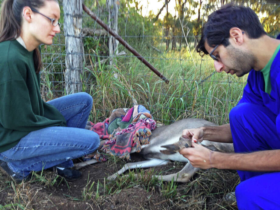 Wildlife Rescue & Rehabilitation is one of the local charities accredited by the Better Business Bureau's Wise Giving Alliance. Dr. Ankur Gupta (right), a veterinarian with the wildlife rescue group, examined an injured buck's leg earlier this year after the animal became caught in a fence. The rescue's hospital coordinator, Ashley Kees (left) was on her way to work and stopped to free the deer. Photo: Express-News File Photo / San Antonio Express-News