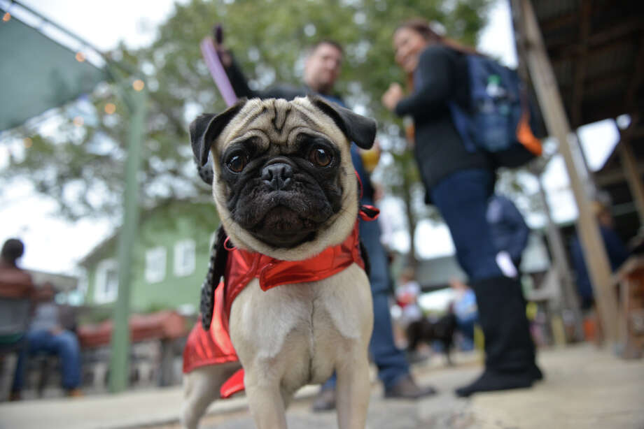 A costumed pooch attends the canine-themed Dia de Los Muertos fundraiser at The Cove benefiiting SnipSA. Photo: Photos By Robin Jerstad /For The Express-News