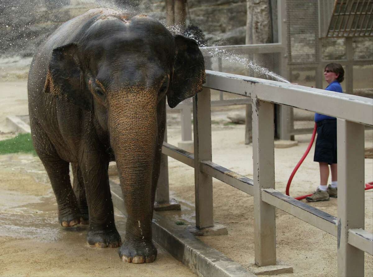 Zookeeper Randee Gonzalez (not shown) sprays water onto Lucky, a 54-year-old female elephant, on Thursday, June 12, 2014, at the San Antonio Zoo. Gonzalez said Lucky receives a bath every morning but will be hosed down again on hot days to cool off. If she is thirsty, Lucky will open her mouth to indicate so, and will even use her trunk to splash water on the rest of her body. After Lucky is sprayed, Gonzalez said, the elephant will shower sand on herself, which sticks to her moist skin and helps her cool down.
