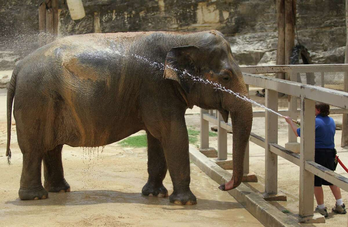 Zookeeper Randee Gonzalez sprays water onto Lucky, a 54-year-old female elephant, on Thursday, June 12, 2014, at the San Antonio Zoo. Gonzalez said Lucky receives a bath every morning but will be hosed down again on hot days to cool off. If she is thirsty, Lucky will open her mouth to indicate so, and will even use her trunk to splash water on the rest of her body. After Lucky is sprayed, Gonzalez said, the elephant will shower sand on herself, which sticks to her moist skin and helps her cool down.