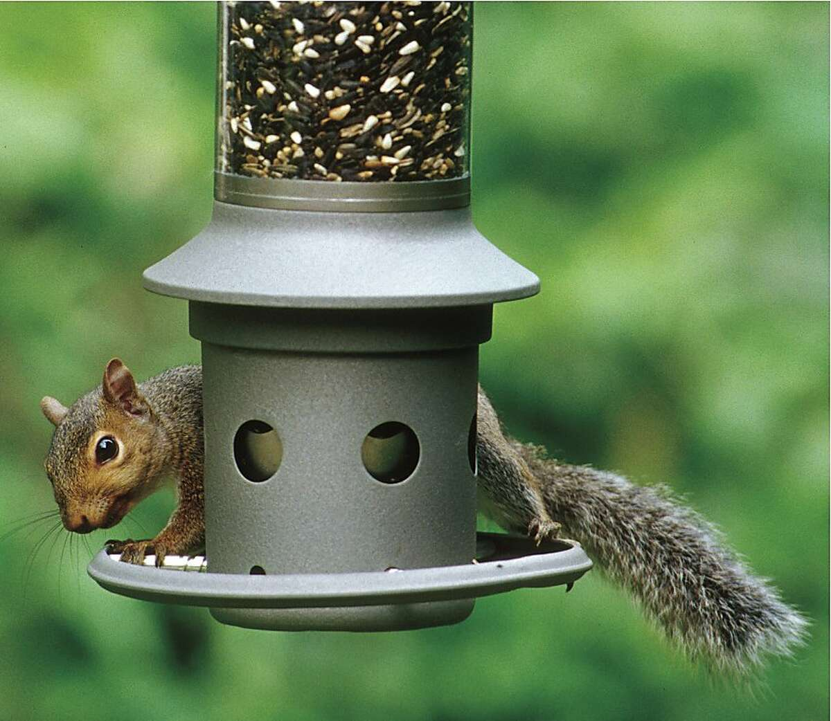 This photo provided by Wild Birds Unlimited shows a squirrel attempting to eat bird seed on an Eliminator, a squirrel-proof bird feeder. It protects your bird seed from persistent squirrels by technology registering sensitivity set by the owner, that closes the seed ports based on weight of the intruder standing on the perch ring. (AP Photo/Wild Birds Unlimited)