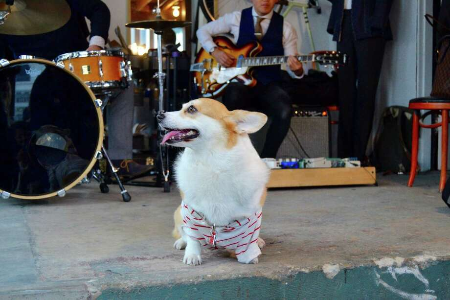Sneakers the Corgi enjoys tunes during Wednesday morning's Barks & Baristas event. Photo: Photograph: Alyssa Pereira/SFGATE