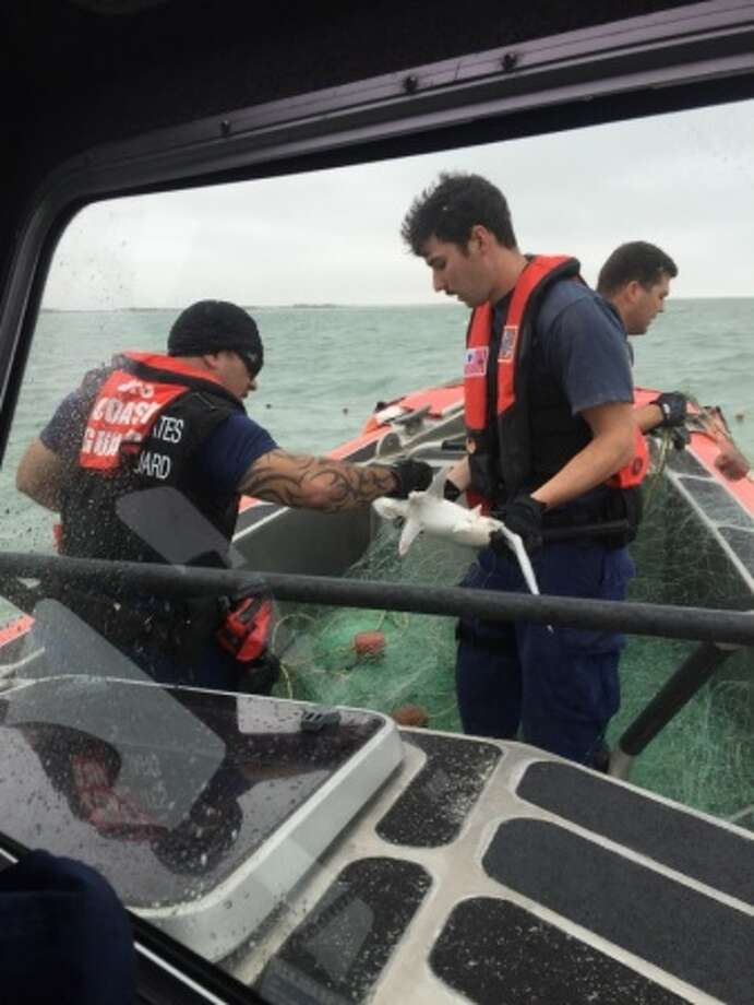 A Coast Guard Station South Padre Island boat crew frees a shark from an illegal net on Tuesday. The crew found a net with 55 sharks, five of which were dead. The surviving sharks were released back to the ocean.Keep clicking to see photos of sharks in the Gulf of Mexico. Photo: U.S. Coast Guard