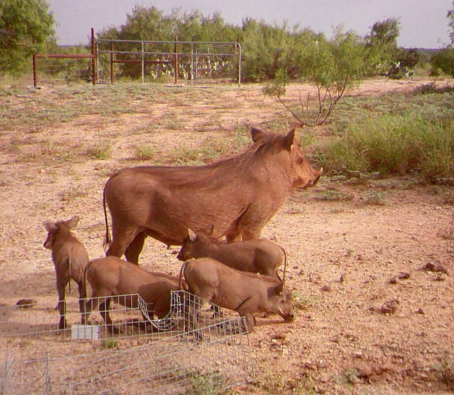 African warthogs, considered an invasive species with potential to negatively affect native wildlife and habitat, have established a small but reproducing population in South Texas. Photo: Picasa