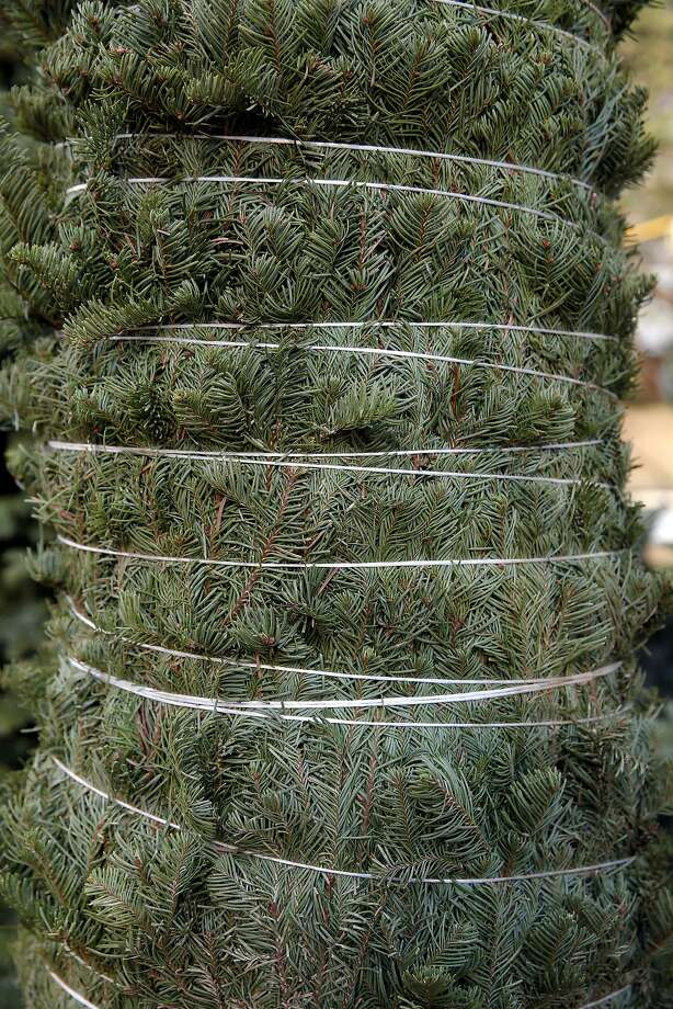 A tightly bound Christmas tree at Clancy's Christmas Trees in San Francisco, California, on Wednesday, Dec. 2, 2015. Photo: Connor Radnovich, The Chronicle