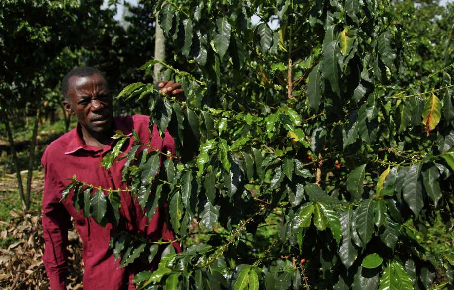 In this photo taken Wednesday, Oct. 21, 2015, coffee farmer Luka Kinyere inspects his plants in Kasese, in the foothills of the Rwenzori Mountains near the border with Congo, in western Uganda. Here coffee is the lifeblood of many families but their success is threatened by climate change, which has warmed the region over the years, encouraging pests and diseases and bringing erratic but intense rains that erode fertile earth. (AP Photo/Stephen Wandera) Photo: Stephen Wandera, STR / AP