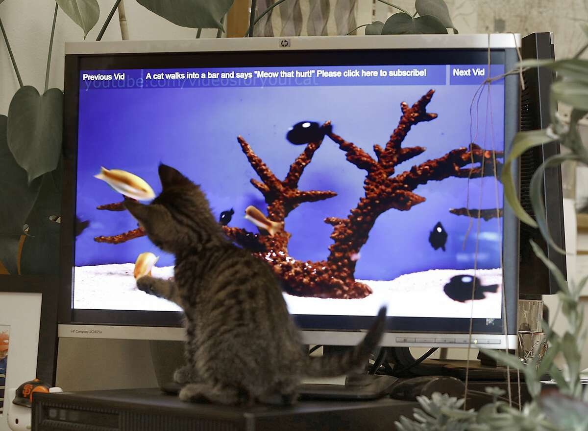 """Dexter, a month old brown tabby plays with fish on a computer monitor on the fourth day of """"12 Days of Catmas"""" in supervisor Katy Tang's office in San Francisco, California, on Friday, December 4, 2015. The kittens are to encourage adoption of shelter animals."""