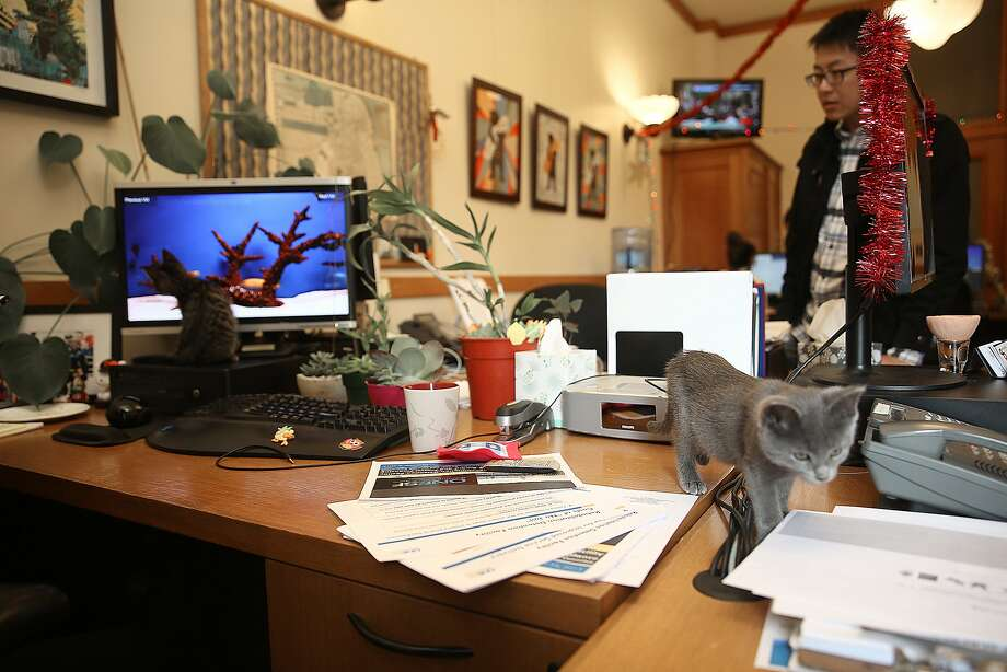 """Dexter (left), a month old brown tabby plays with fish on a computer monitor as two month old Hailey (right) wanders on the fourth day of """"12 Days of Catmas"""" in supervisor Katy Tang's office in San Francisco, California, on Friday, December 4, 2015. The kittens are to encourage adoption of shelter animals. Photo: Liz Hafalia, The Chronicle"""