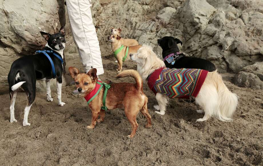 Dogs gather together for treats and water at the Small Dog Beach Wal. Photo: Kathleen Duncan / The Chronicle