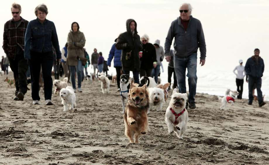 Dogs run and play ahead of their owners at the Small Dog Beach Walk Saturday morning at Ocean Beach in San Francisco. The Small Dog Beach Walk has happened every Saturday for 9 years in San Francisco. Photo: Kathleen Duncan / The Chronicle