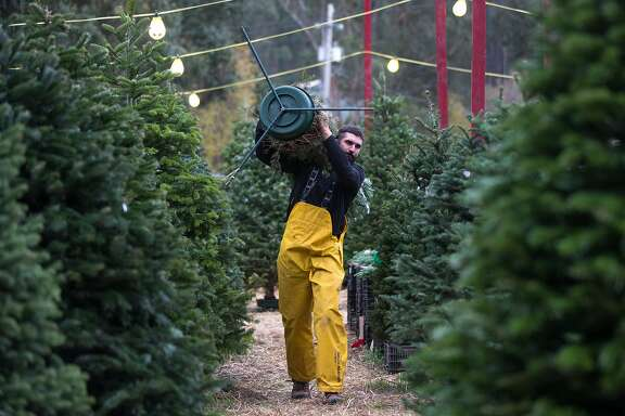 Tony Cozzolino works on his Christmas tree lot on Saturday, Dec. 5, 2015 in half Moon Bay, Calif.