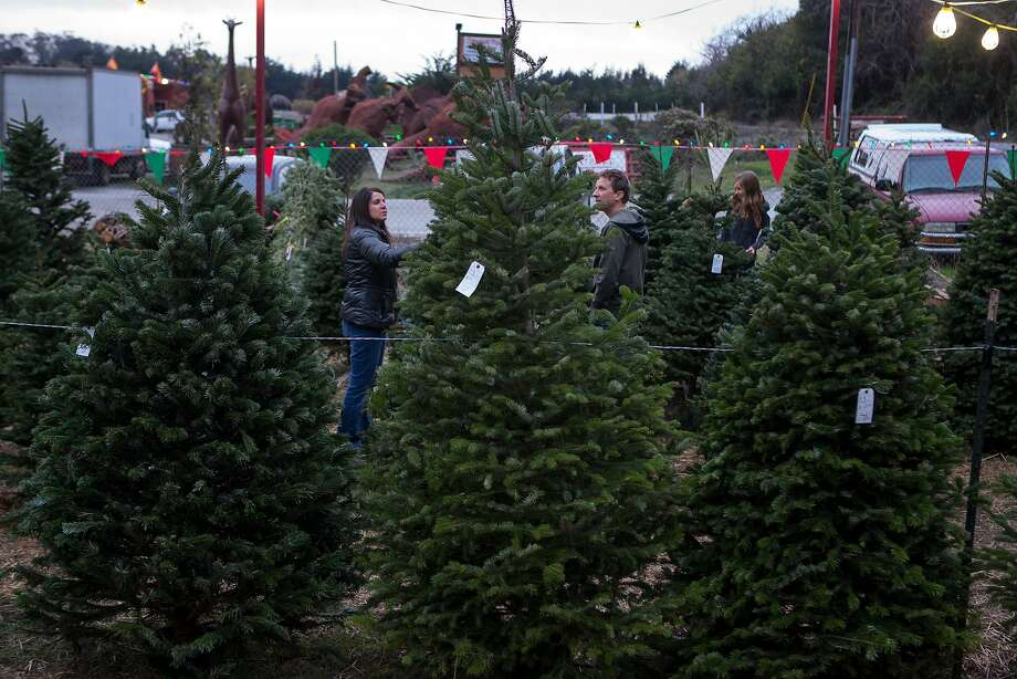 A Christmas tree shortage could mean higher prices at tree lots this winter, according to the National Christmas Tree Association. Photo: Nathaniel Y. Downes, The Chronicle