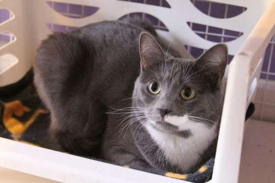 Dusty Rose is a sweet, young adult cat looking for a quiet home. (Mary Lou Baker)