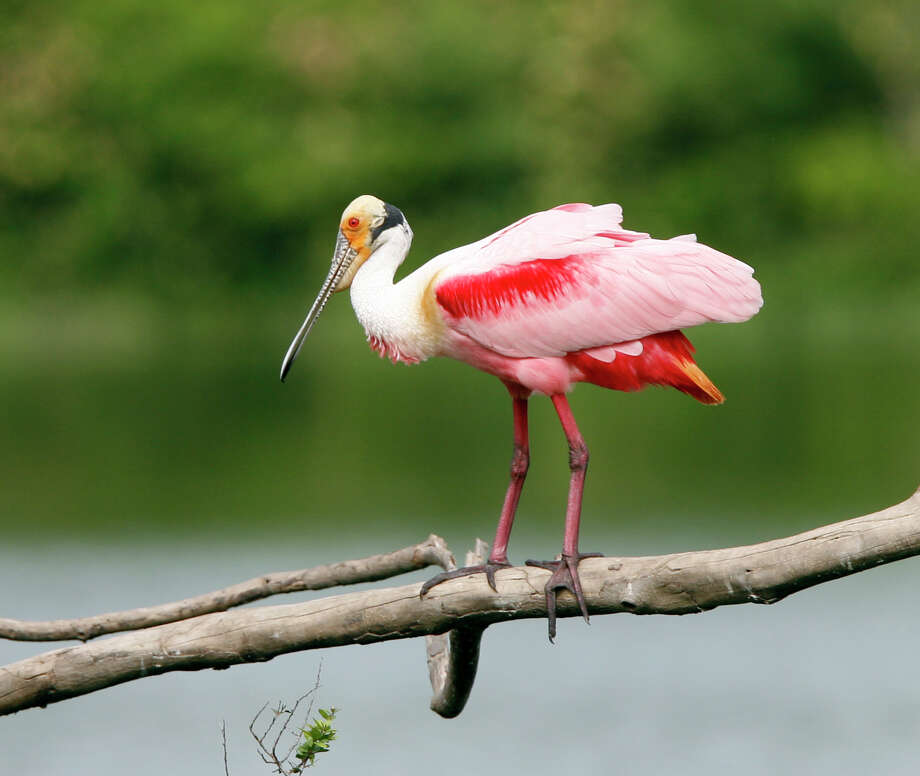 The roseate spoonbill is common to the Houston region, but it is one species that could be threatened by a new reading of the Migratory Bird Treaty Act. Photo: Scott Clark, STAFF / HOUSTON CHRONICLE