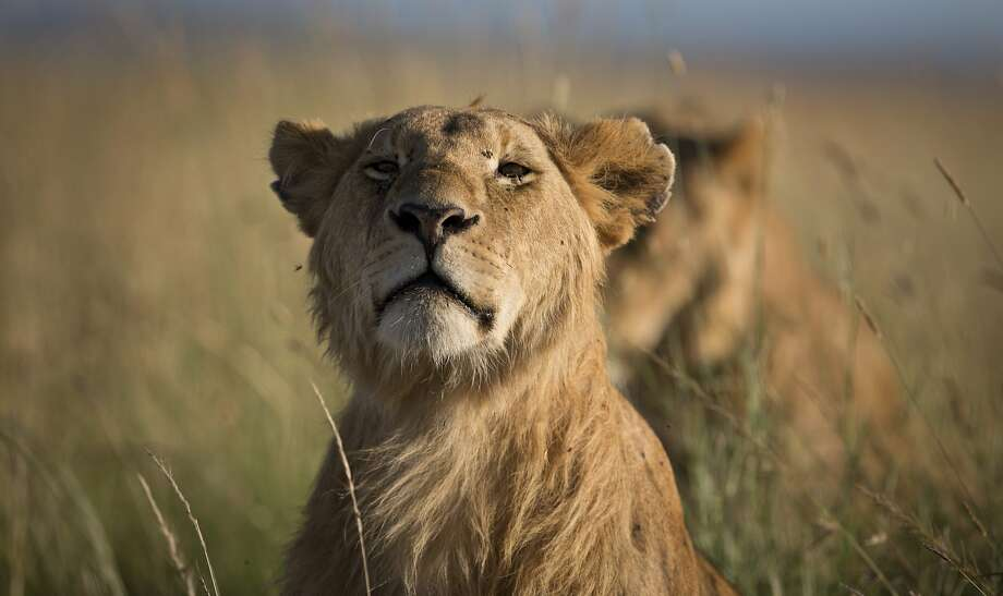 A lion sits with other members of the pride in the early morning, in the savannah of the Maasai Mara, south-western Kenya. (2015 file photo.) Photo: Ben Curtis, Associated Press