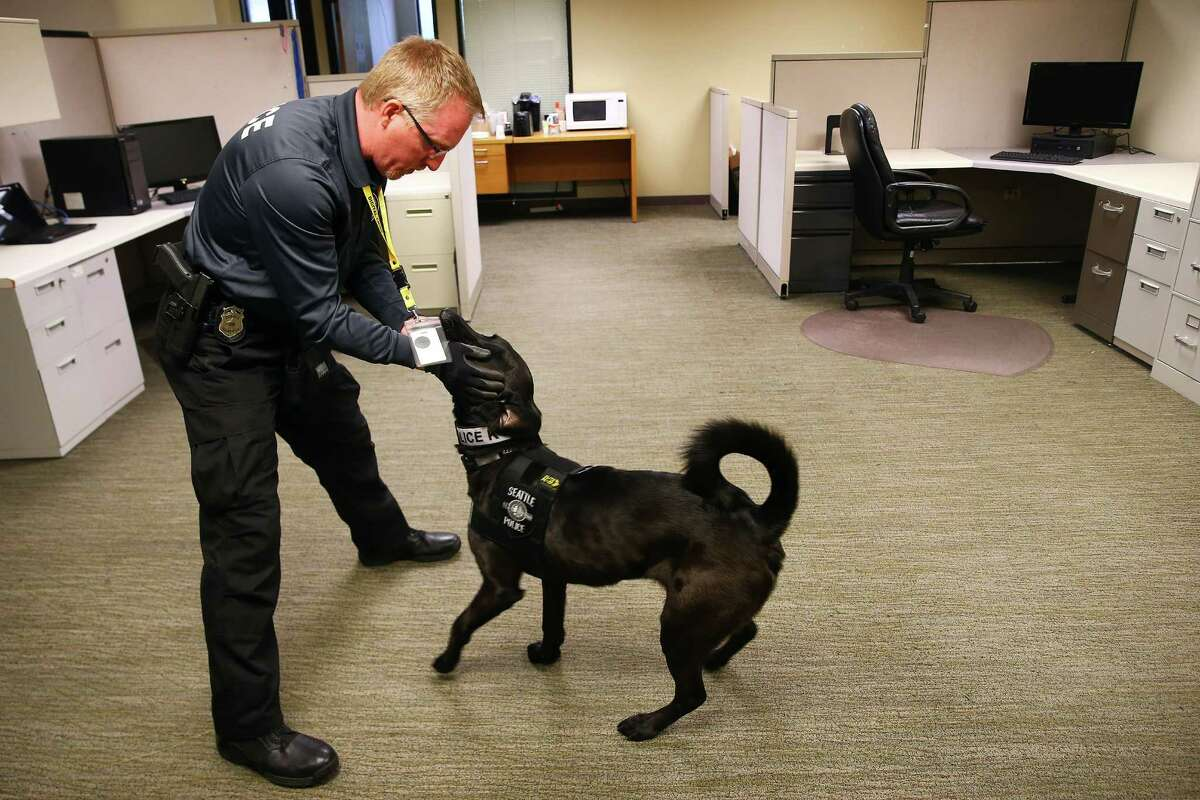Handler Ian Polhemus prepares 2-year-old black Lab Bear to demonstrate his training at the Internet Crimes Against Children office, Dec. 2, 2015. Bear is trained to sniff out chemical signatures emitted by electronic devices such as hard drives and memory sticks. Run by the Seattle Police Department, the Internet Crimes Against Children team includes six investigators. The unit is the state's leading force against child pornographers and child pornography collectors, who number in the thousands in Washington alone.