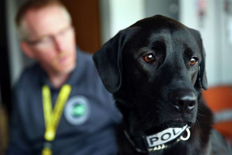 Bear, an electronics-sniffing dog who joined the Seattle Police Department's Internet Crimes Against Children team in August 2015, was instrumental in uncovering James Stilson's child pornography collection.  He has helped discover evidence in many cases, including during a raid of former Subway spokesman Jared Fogle's house. Click through for a better look at Bear. Photo: GENNA MARTIN, SEATTLEPI.COM / SEATTLEPI.COM