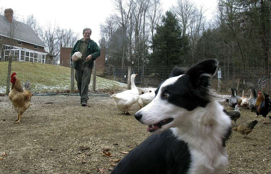 """Border collie Maisie Grace sits in the barnyard while owner John Churchman feeds birds in the background in Essex, Vt. What started out as a vividly photographed self-published children's book by John and Jennifer Churchman is hitting it big in the publishing world just in time for Christmas. The story of Sweet Pea's recovery from a potentially fatal barn ailment was celebrated by the animal's barn mates in a party the Churchmans dubbed a """"SheepOver."""" Photo: Wilson Ring, Associated Press"""