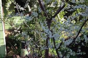 A Gulf Coast-appropriate plum bloomed last winter.
